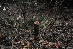 ادامه قطع درختان کهنسال در ایلام/شهرداری: با متخلف برخورد می شود