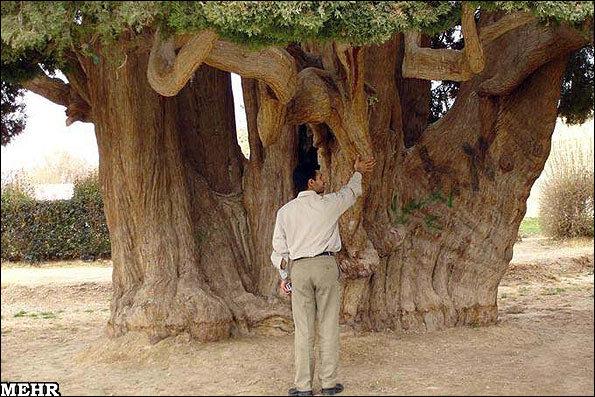 کهنسال ترین درخت گردو ایران در فیروزکوه به حیات خود ادامه می دهد