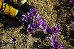 رویش طلای سرخ خراسان در کردستان/ظرفیتی تازه برای توسعه کشاورزی