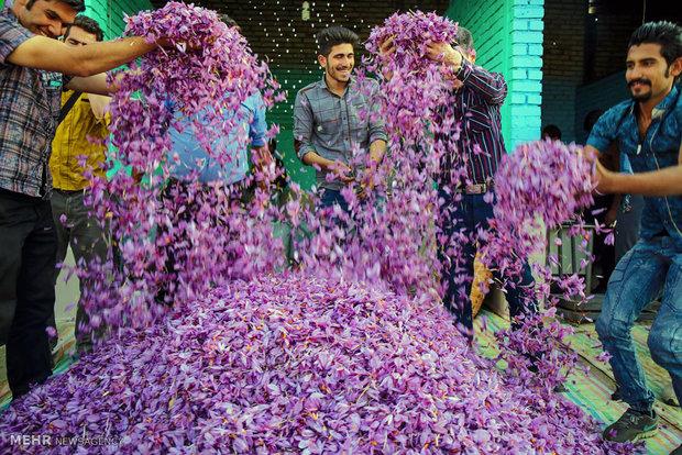 برداشت زعفران در شهرستان های تربت حیدریه و زاوه