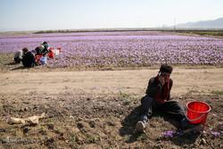 وجود ۷۵ هکتار سطح زیر کشت زعفران در استان زنجان