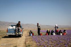 ارائه نشدن تسهیلات به متقاضیان، مشکل مهم توسعه کشت زعفران درزنجان