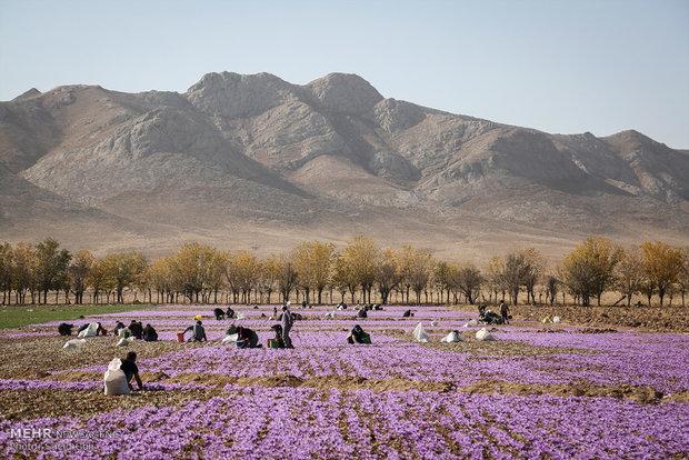 İran'da safran ihracatı yüzde 60 arttı