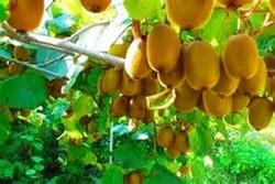 سيدات رشت وموسم فاكهة الكيوي في شمال ايران /صور
