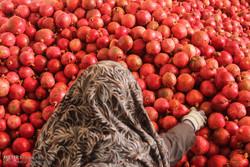 الياقوت الأحمر من قلب بادية خراسان /صور