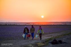 Farmers start getting in Saffron