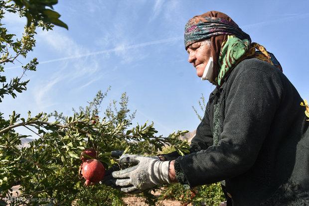 برداشت یاقوت سرخ از مزارع شهرضا