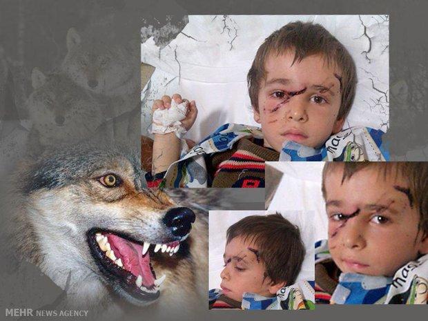 ابوالفضل۴ساله اسیر دندانهای گرگ/حمله حیوان وحشی به ۱۰نفر دریک روز