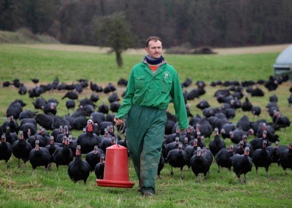 قیمت گوشت بوقلمون طرح توجیحی پرورش بوقلمون شغل پر سود شغل پر درآمد سود پرورش بوقلمون بوقلمون برنز آموزش پرورش بوقلمون