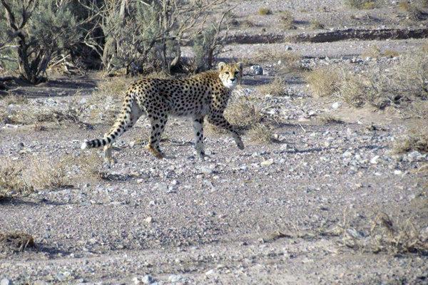مشاهده یک قلاده یوزپلنگ آسیایی در پارک ملی ضامن آهو