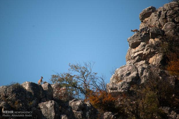 Wildlife in Golestan forest