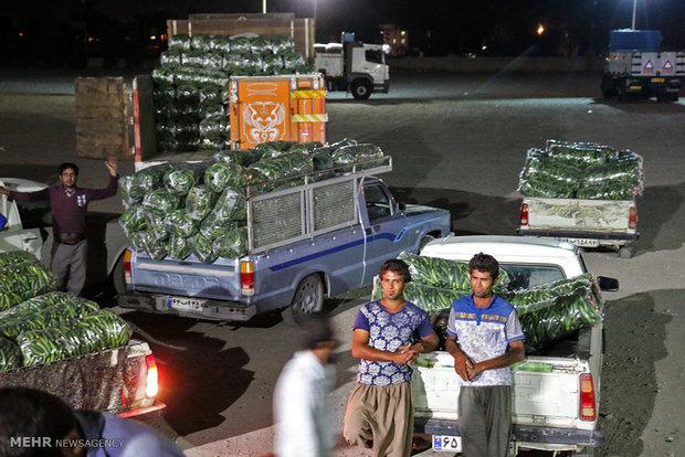 خرید و فروش محصول خیار سبز در میادین تره بار هشت بندی هرمزگان