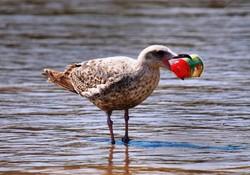 حل معمای پلاستیک خواری پرندگان دریایی