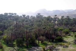 کشت گلخانه ای در کرمان توسعه می یابد