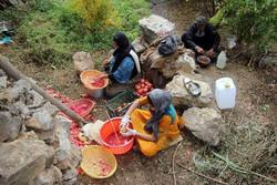 سور پاییزی در انارستان های اورامان/ مشکلات کشاورزان ادامه دارد
