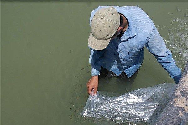 تکثیر ۱۱۵ میلیون قطعه بچه ماهی در گیلان/آبزیپروری اولویت شیلات