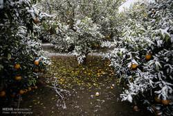 بازدیدکارشناسان بیمه از ۷۰ درصد باغات سرمازده/میزان خسارات هنوز مشخص نیست