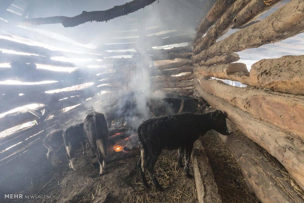 انتقال دامها از دامنه ارتفاعات روستای دیوا