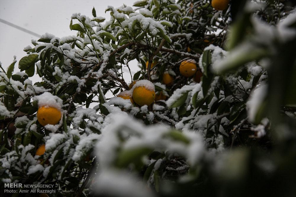 خسارت دیدن باغات مرکبات مازندران از بارش برف پاییزی