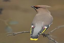ثبت حضور پرنده «بال لاکی» در طبیعت شهرستان رشتخوار