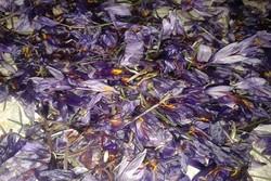 خشکسالی و سرما تولید زعفران خراسان جنوبی را کاهش داد