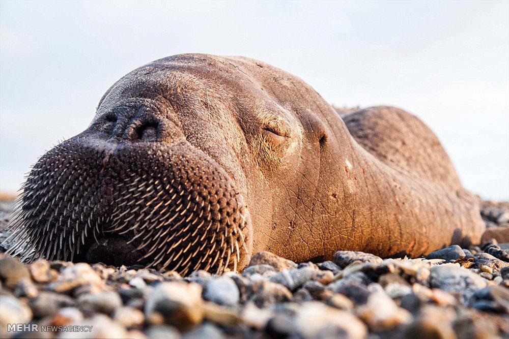 تجمع گرازهای دریایی در ساحل روسیه