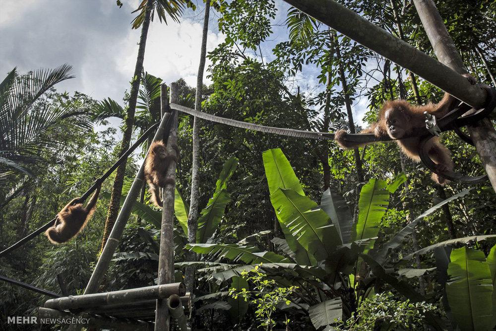 مرکز توانبخشی اورانگوتان ها در اندونزی