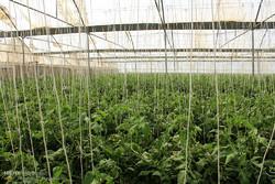 راه اندازی ۲ مجتمع بزرگ گلخانه ای در استان ایلام
