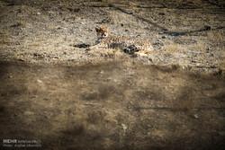 تصویر یک قلاده یوزپلنگ در پارک ملی توران شاهرود ثبت شد