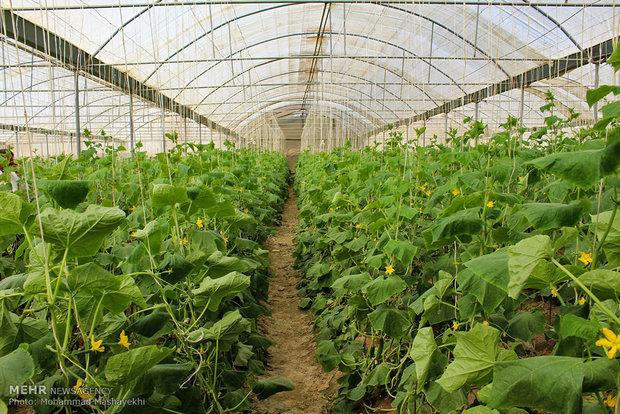 توسعه کشت گلخانهای با رویکرد اقتصاد مقاومتی/افزایش ۵برابری تولید