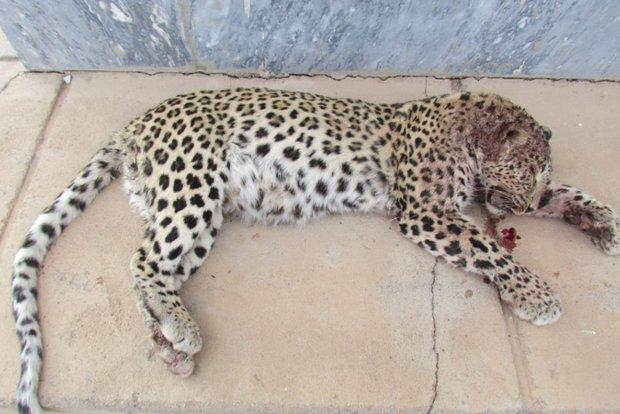 کراپشده - پلنگ ایرانی شکارشده در توران شاهرود