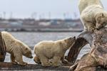 قطبی بالو غذا کی تلاش میں