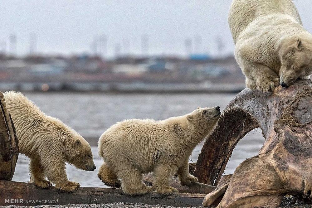 بهترین برند شامپو 2016 تصاویر خرس های قطبی در جستجوی غذا