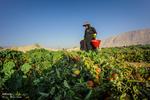 قطب تولید گوجهفرنگی کشور اسیر مشکلات متعدد/ کشاورزان حمایت شوند