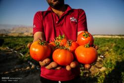 """قطف ثمار الطماطم من حقول """"بوشهر"""" الايرانية /صور"""