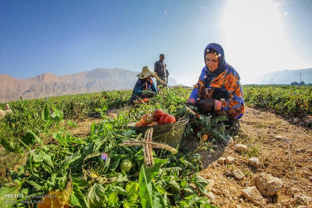 """قطف ثمار الطماطم من حقول """"بوشهر"""" الايرانية"""