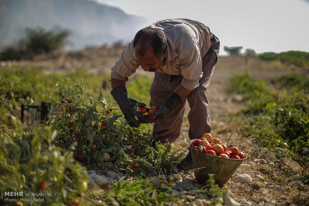 برداشت گوجه فرنگی در استان بوشهر