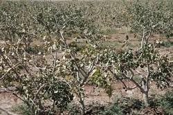 ۹۸ هزار تن محصولات باغی استان سمنان دچار سرمازدگی شدند
