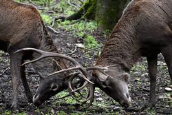 Red deer in Semeskandeh wildlife refuge in Sari