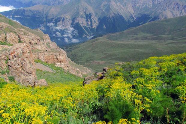 برداشت باریجه در استان سمنان