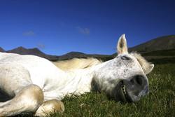 اسب های ایسلندی
