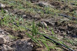 ۲۰۰ هکتار از اراضی شهرستان کیار به کشت پیاز اختصاص یافت