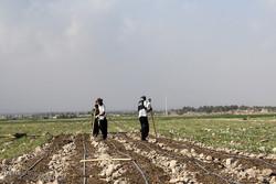 ۱۰۳ هکتار از اراضی کشاورزی شهرکرد به کشت پیاز اختصاص یافت