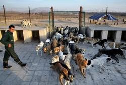 توقف کشتار سگهای خیابانی/ زنده گیری و عقیمسازی جایگزین سگکشی