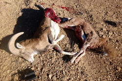 کراپشده - دستگیری شکارچی در سرخه - سلاح غیرمجاز - لاشه شکار کل و قوچ