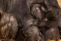 سپردن بچه گوریل به دست نامادری