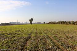 اجرای پروژه ایکاردا عامل پایداری تولید در دیم زارهای کردستان است
