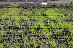 مزارع گندم برای مقابله با آفت زنگ زرد باید به موقع سمپاشی شوند