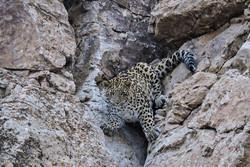 مشاهد دو قلاده پلنگ در منطقه شکار ممنوع پرور مهدیشهر