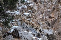 فیلم/ مشاهده ۲ قلاده پلنگ در منطقه حفاظت شده پرور مهدیشهر